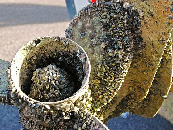 The motor of a USFWS boat encrusted with quagga mussels on Lake Mead, Nevada. Photo: USFWS via Flickr (CC BY-NC-ND).