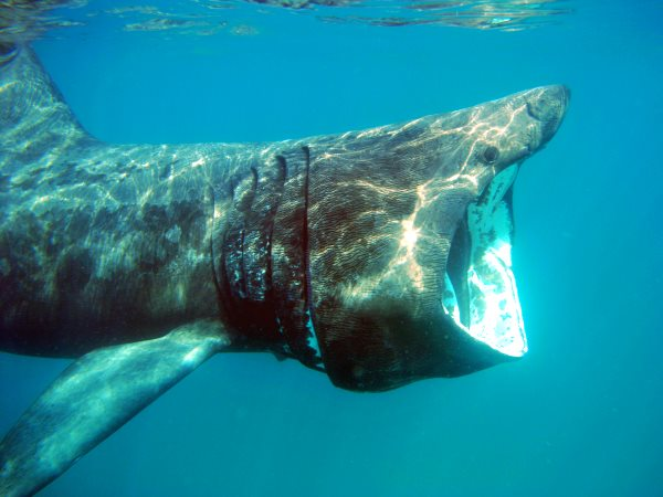 A Basking shark in UK coastal waters. Photo: Andrew Pearson / The Wildlife Trusts.