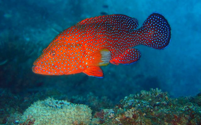 A Coral Cod (Cephalopholis miniata) at Lighthouse Bommie, Ribbon Reef #10, Great Barrier Reef. Photo: Richard Ling via Flickr (CC BY-NC-ND 2.0).