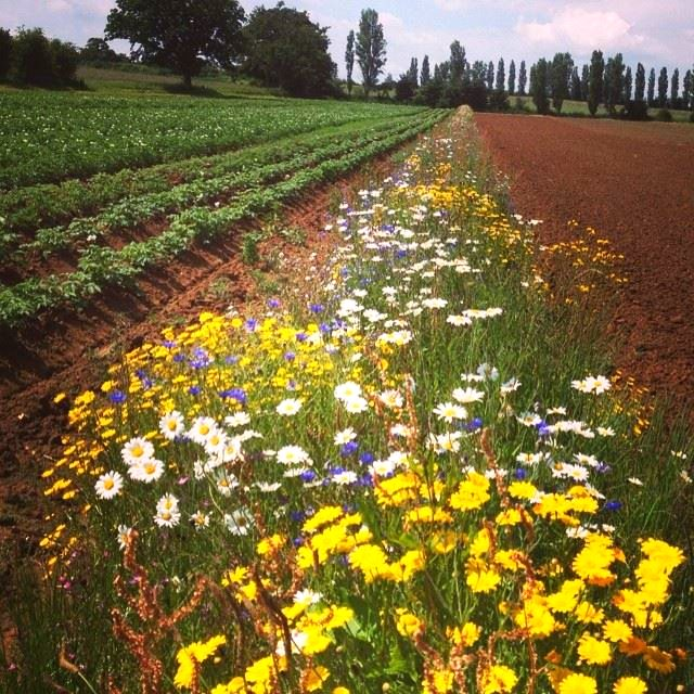 This colorful 'beetle bank' at Sandy Lane Organic Farm provides a haven for beneficial insects: pollinators and predators of pest species. Photo: Sandy Lane Farm, Oxfordshire, England.