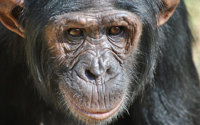 Thousands of hectares of prime rainforest habitat for chimpanzees, drills, gorillas and other primates are being wiped out as agribusiness advances across Cameroon. Photo (Chimp Eden Sanctuary): Afrika Force via Flickr (CC BY 2.0).