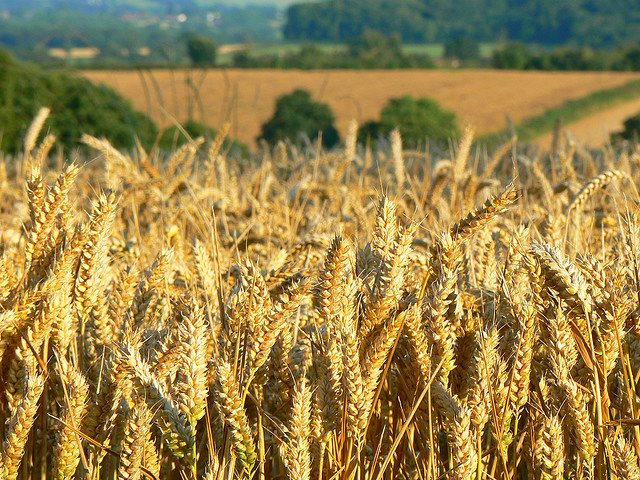 As for whether we want GMO crops ... who cares? A field of wheat (non-GM) neat Templecombe, England. Photo: Helen ST via Flickr (CC BY-NC-SA 2.0).