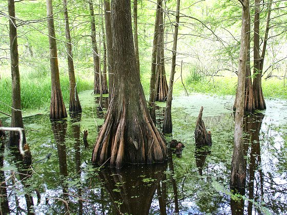A swamp forest in Louisiana, of the same kind that's already being clear-felled and chipped to supply fuel to Drax power station in Yorkshire on a fatuous 'low carbon' promise. Photo: J E Theriot via Flickr (CC BY 2.0).