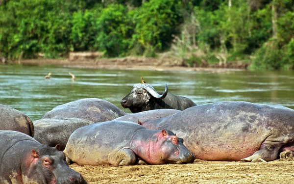 Hippo and Buffalo on the Semliki River at Lulimbi in Virunga National Park. Photo: virunga.org via Terese Hart / Flickr (CC BY-NC-SA 2.0).