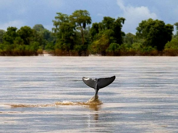 A reclusive Irawaddy dolphin on the Mekong river at Kampie, Cambodia. Photo: Jim Davidson via Flickr (CC BY-NC-ND).