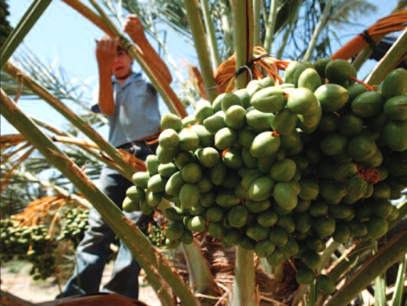 A Palestinian child clambering in a date palm on an Israeli settlement farm - from cover of the HRW report 'Ripe for Abuse - Palestinian Child Labor in Israeli Agricultural Settlements in the West Bank'.