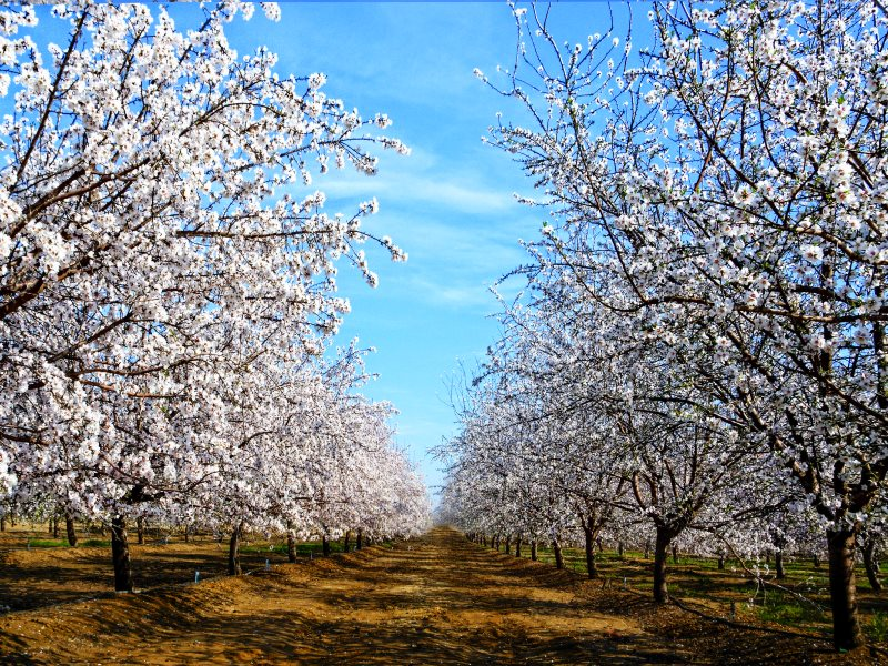 To pollinate California's huge monocultural almond farms bees are trucked in from all over the US, even flown in from Australia, because there's not the quantity or diversity of plants to sustain wild bee colonies or wild pollinators. Photo: Steve Corey v