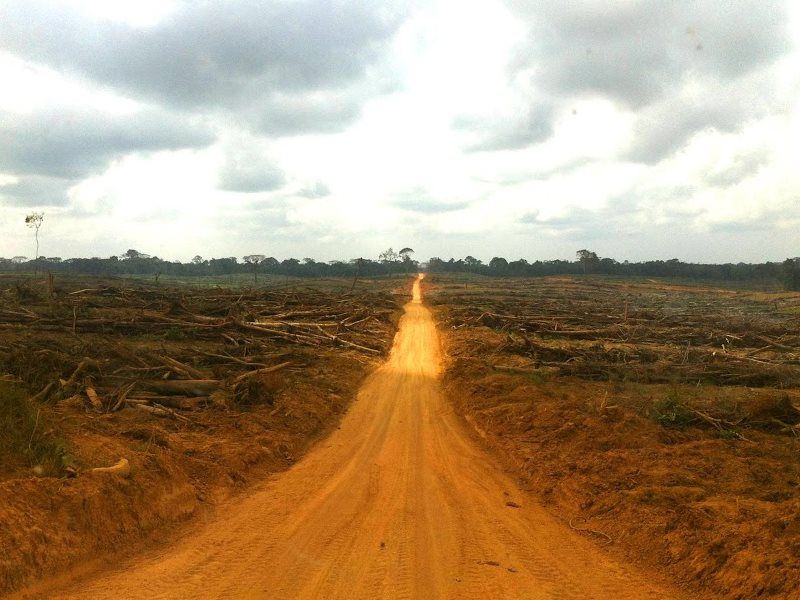 Local community forest land cleared and planted by Golden Veroleum in Butaw District, Sinoe County, previously contained areas of high­ quality forest many stories high. A woman from a nearby village described that