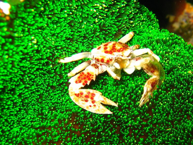 In danger? Apparently not. Under threat? For sure. A Red-spotted Porcelain Crab (Neopetrolisthes maculatus) on anemone (Cryptodendrum adhaesivum). Steve's Bommie, Ribbon Reef #3, Great Barrier Reef. Photo: Richard Ling via Flickr (CC BY-NC-ND).