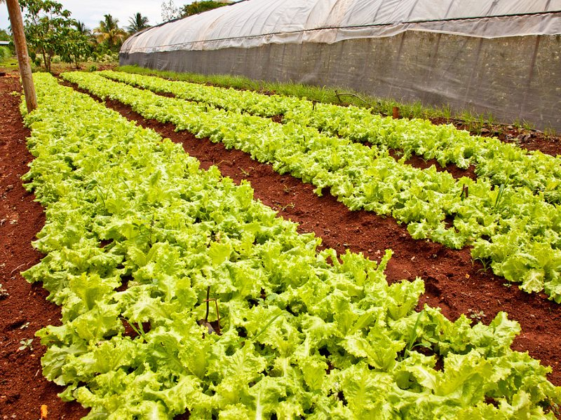 Lettuce on an Organic Farm in Havana, Cuba. Photo: David Schroeder via Flickr (CC BY-NC-ND).