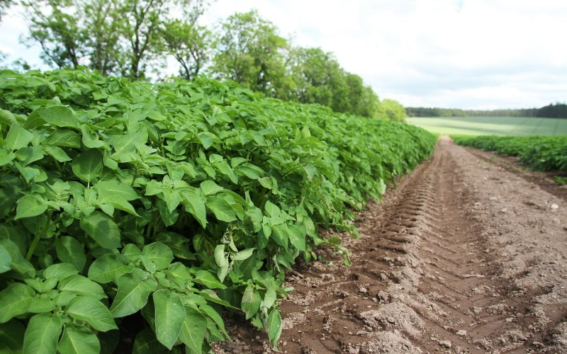 Now protected against GMO contamination: fields of seed potatoes growing in Perthshire, Scotland. Photo: Matt Cartney / Agriculture, Food and Rural communities via Flickr (CC BY-NC).
