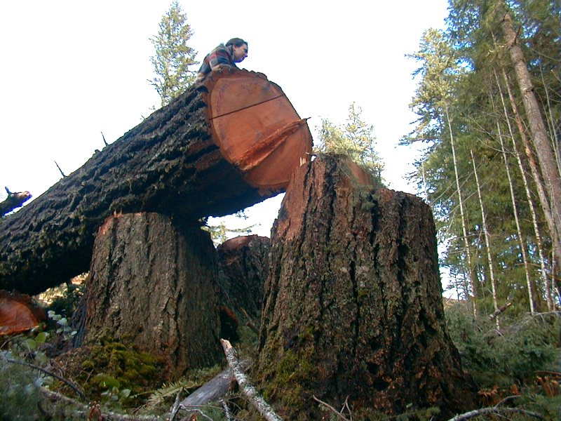 Felled tree in the coastal rainforest of Oregon, USA. Photo: Francis Eatherington via Flickr (CC BY-NC-ND).