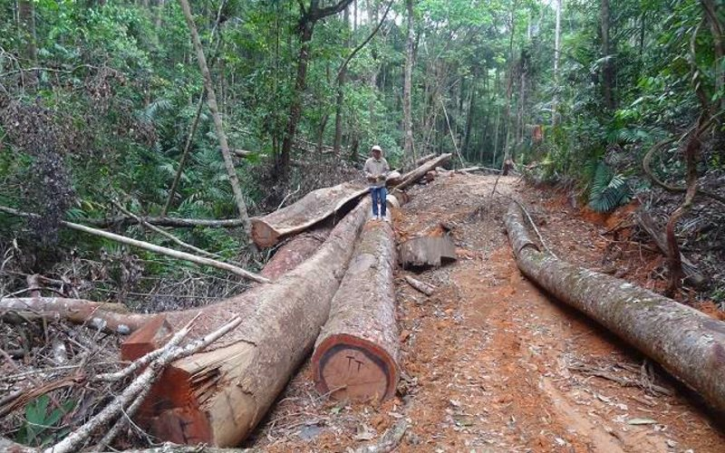 Logging road and cut logs awaiting collecting in the Laos rainforest. Photo: Denis Smirnov.