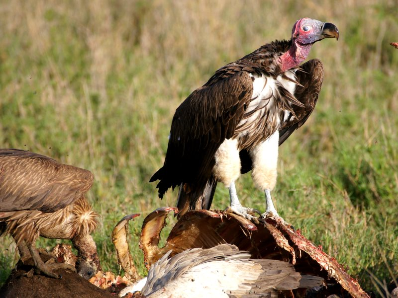 A pair of Lappet Faced Vultures feating on a buffralo carcass in Bariadi, Shinyanga, Tanzania. Photo: jjmusgrove via Flickr (CC BY).