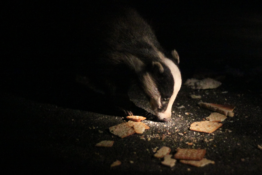 In the dark: a badger in Pembrokeshire snaffles up a tasty snack. Photo: Chris Frewin via Flickr (CC BY-NC-ND).