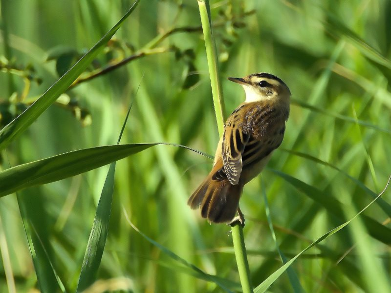The Aquatic Warbler, once endangered, and been restored to a healthy population level thanks to action taken under the EU's Nature Directives. Photo: LubosHouska via Pixabay (CC0 Public Domain).