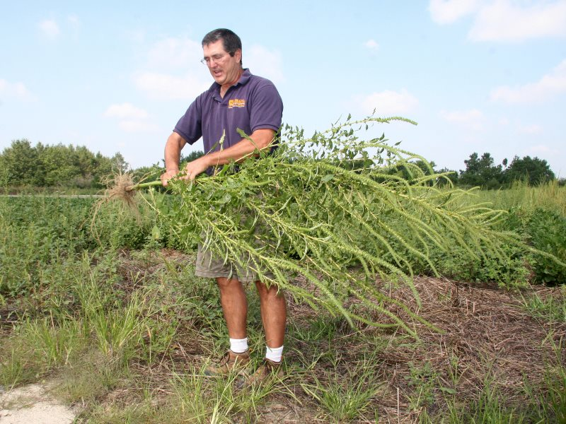 Dr. Mark VanGessel brandishing a Palmer's amaranth on a Delaware farm - one of the glyphosate-resistant superweeds that's pushing biotech companies to develop 'stacked' herbicide resistant traits in soybeans and other crops. Photo: Delaware Agriculture vi