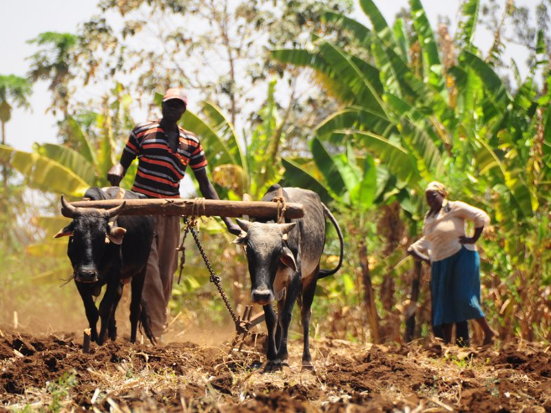 Traditional Farmer in Kabaune village, Kenya working in the field with his cattle. The village has joined in planting trees in order to increase rain and water. Photo: P. Casier / CGIAR via Flickr (CC BY-NC-SA).