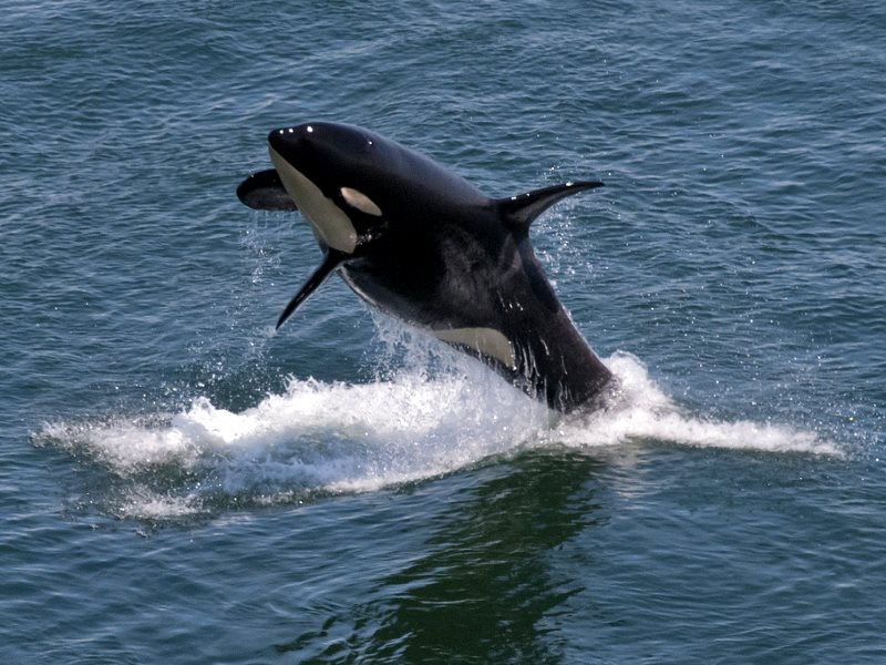 Southern Resident Orca near East Point, Saturna Island, 12th July 2011. Photo: Miles Ritter via Flickr (CC BY-NC-SA).