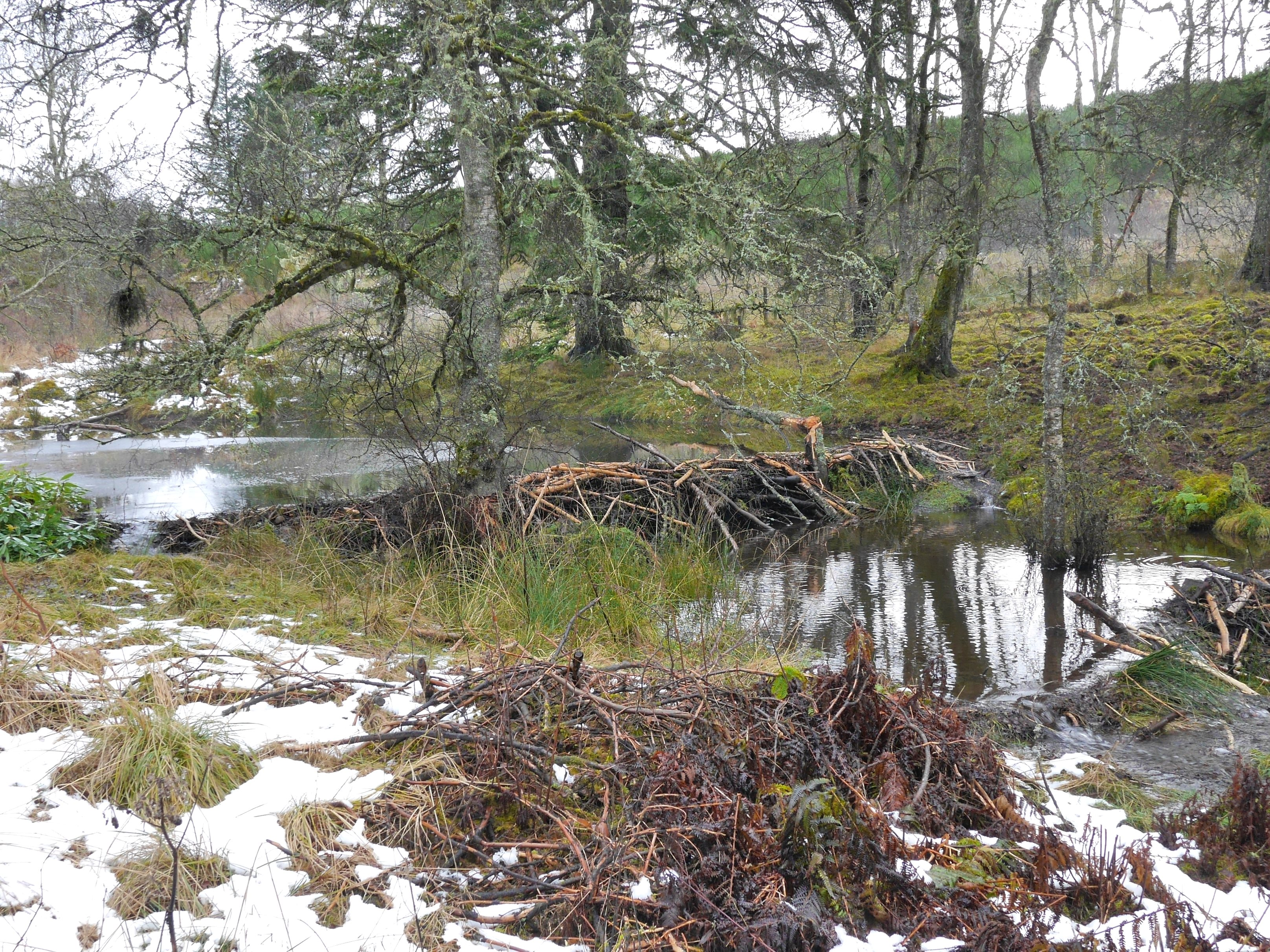 A pair of beaver dams in Bamff, Perthshire. Photo: Paul Ramsay.