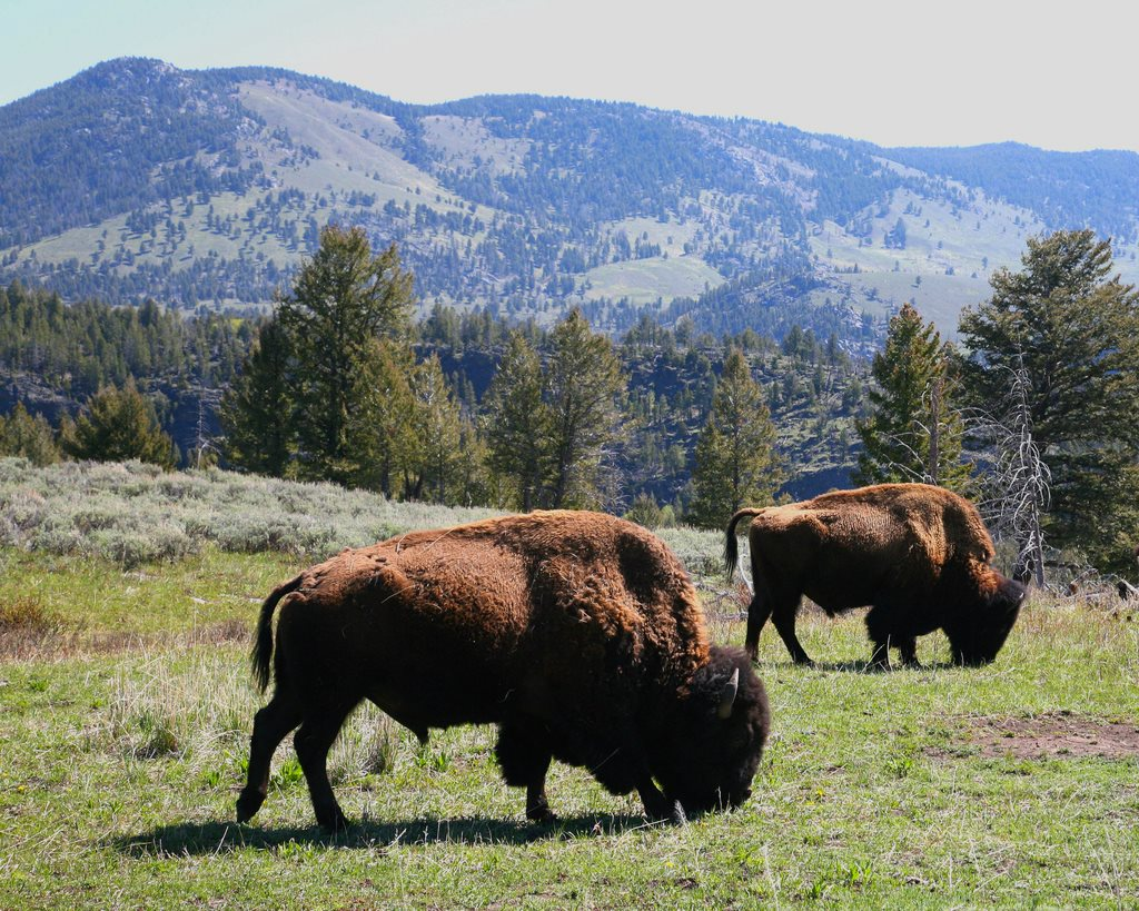 Yellowstone Bison. Photo: Jitze Couperus via Flickr (CC BY).