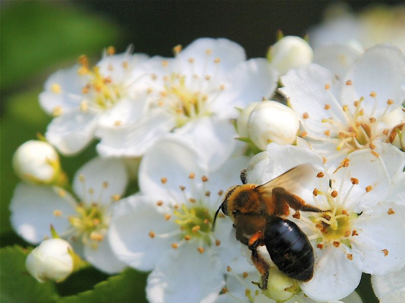 Mining Bee (Andrena dunningi) on Hawthorn. Photo:  Dan Mullen via Flickr (CC BY-NC-ND).