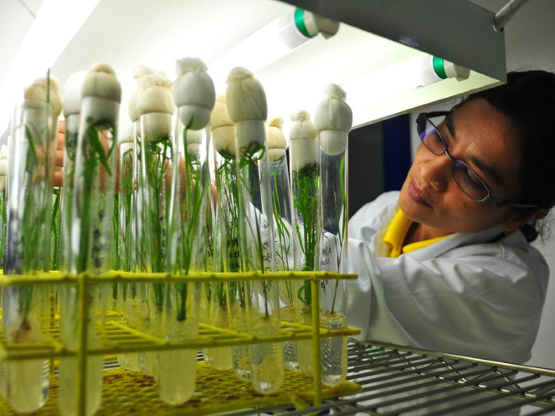 Dr. Shanta Karki studies rice plants being grown at IRRI's Biotech labs, which have worked on the development of Golden Rice. From the image collection of the International Rice Research Institute (IRRI) on Flickr (CC BY-NC-SA).