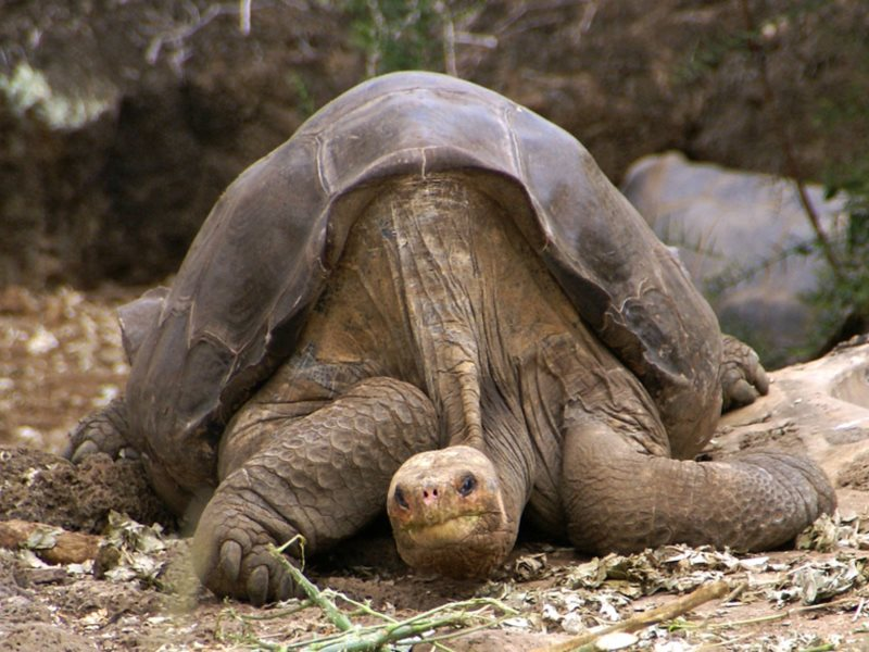 Lonesome George, the last of the pure-bred Pinta Island tortoises, photographed before his death in 2012 at the age of about 100. Photo: putneymark via Flickr (CC BY-SA).