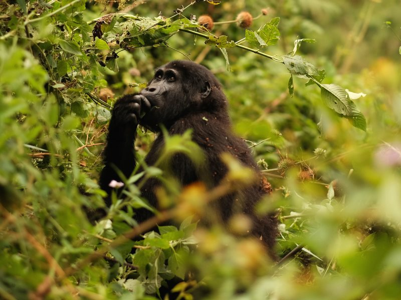 An Eastern Mountain Gorilla forages on a hillside just outside of Bwindi Impenetrable National Park, Uganda. A large deforested buffer zone of inedible tea plants has been constructed in order to keep the gorillas from leaving the park and disrupting loca