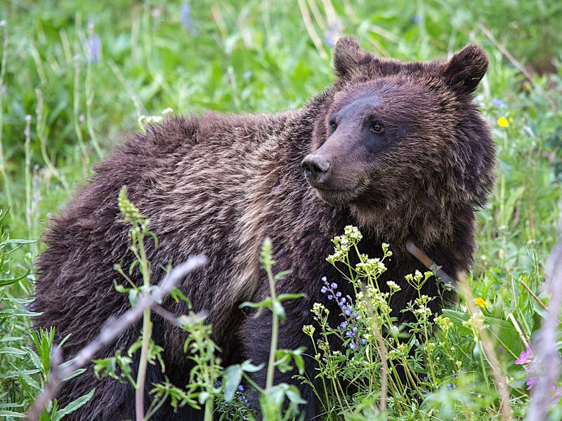 Grizzly bear in Wyoming. Photo: Scott Taylor via Flickr (CC BY-ND).