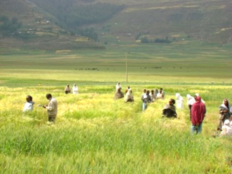 Participatory barley breeding in India. Photo: Salvatore Ceccarelli .