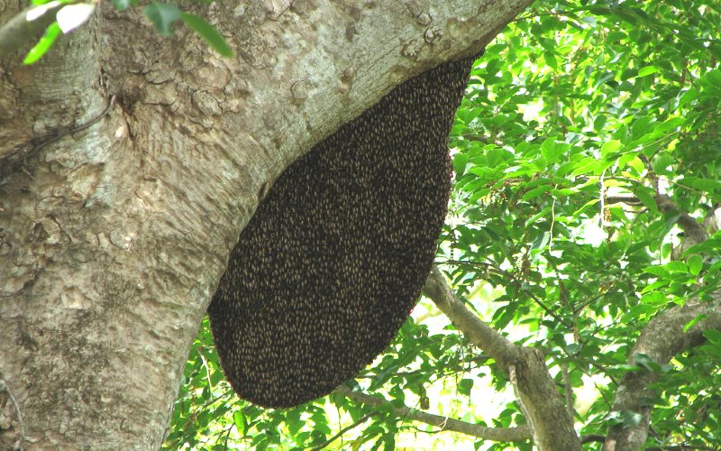 A huge wild bee hive in Indian forest. Photo: Karunakar Rayker via Flickr (CC BY).