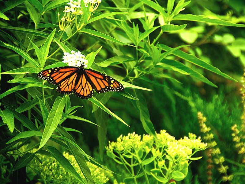 Monarch butterfly on Milkweed. Photo: bark via Flickr (CC BY).