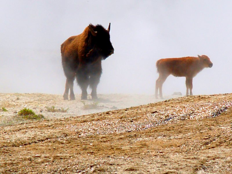 Mother and daughter: bison in the Yellowstone National Park. Photo: Bill Lile via Flickr (CC BY-NC-ND).