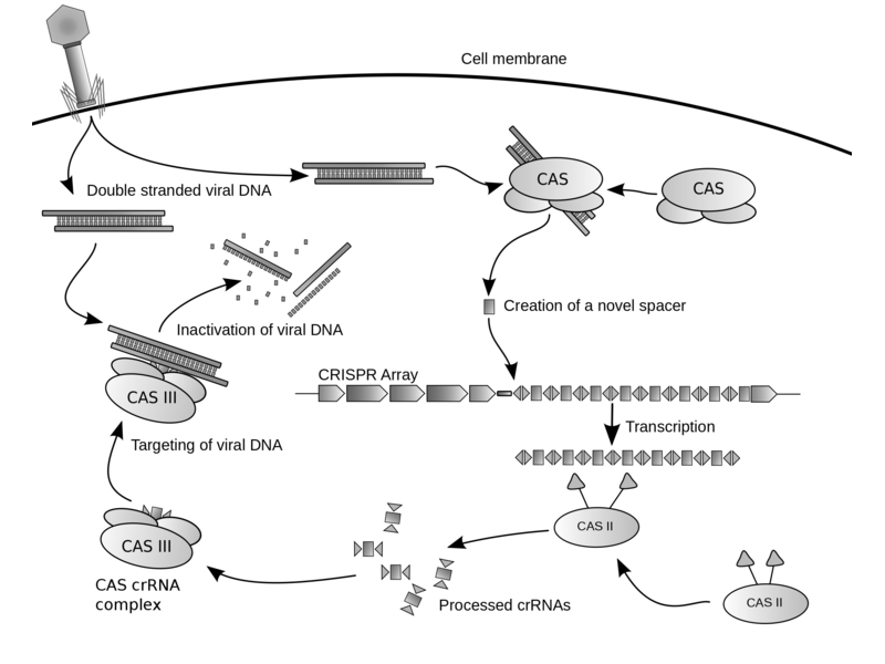 How CRISPR works: what could possibly go wrong? In fact, an awful lot, as it turns out. Image: James atmos via Wikimedia Commons (CC BY-SA).