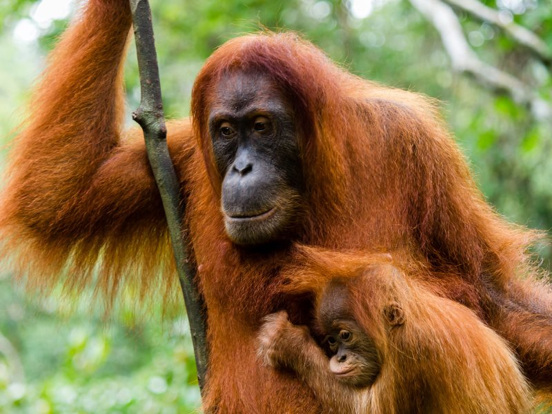Sumatran orangutans have lost huge areas of forest habitat to logging, burning and palm oil plantations. Photo: Richard Whitcombe.