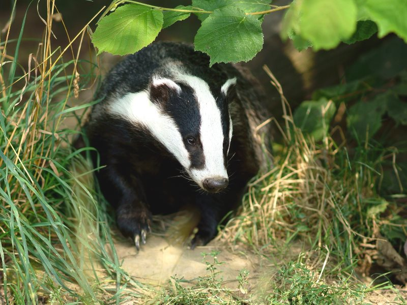 Badger, seen at the British Wildlife Centre, Newchapel, Surrey. Photo: Peter Trimming via Flickr (CC BY).