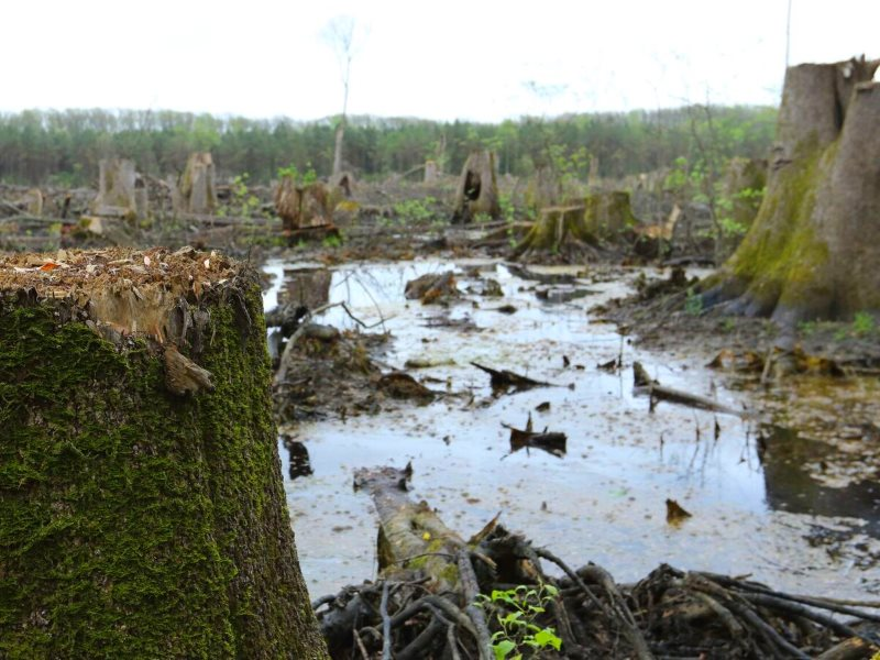A bottomland hardwood clearcut that Dogwood Alliance have linked to Enviva, the company that runs the Ahoskie pellet mill, which supplies the UK's Drax power station. Photo: Matt Adam Williams.