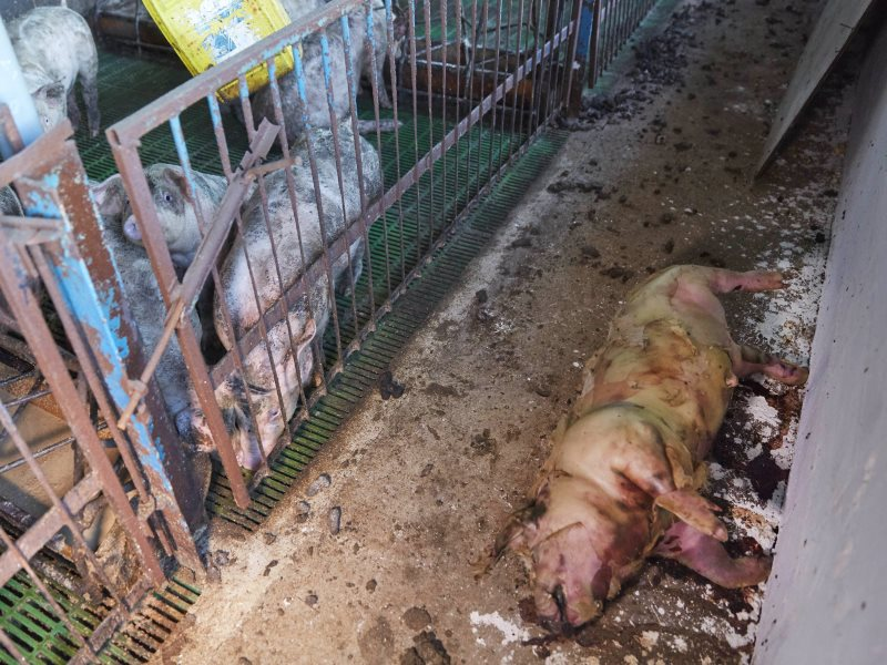 Inside the pig farm. Photo: Farms Not Factories.