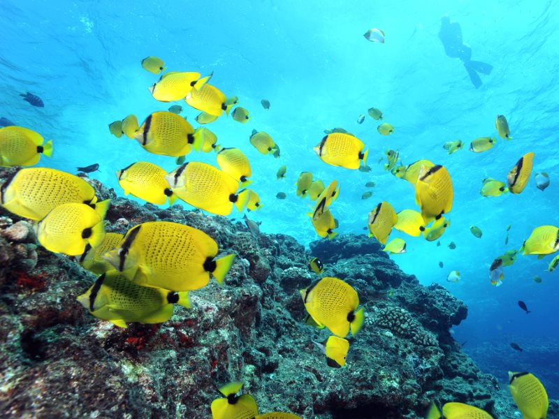 Milletseed butterflyfishes and snorkeler near surface, taken in 2009 in Papahānaumokuākea Marine National Monument - which has just quadrupled in size. Photo: Greg McFall / NOAA's National Ocean Service via Flickr (CC BY).
