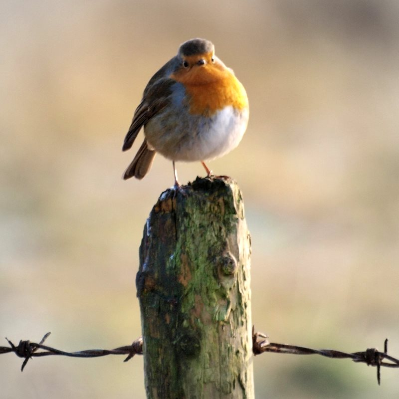Who ate all the pies? Robin redbreast on an English farm. Photo: John Bennett via Flickr (CC BY-NC-SA).