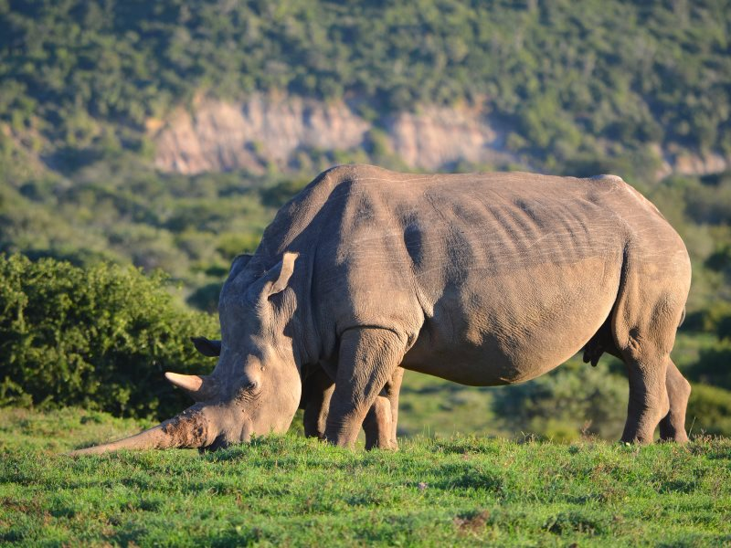 Could a legal, regulated trade in rhino horn help save these wonderful animals by paying for their conservation and taking the profit out of poaching? Photo: rhino on the Eastern Cape, South Africa, by Colin via Flickr (CC BY-NC-SA).