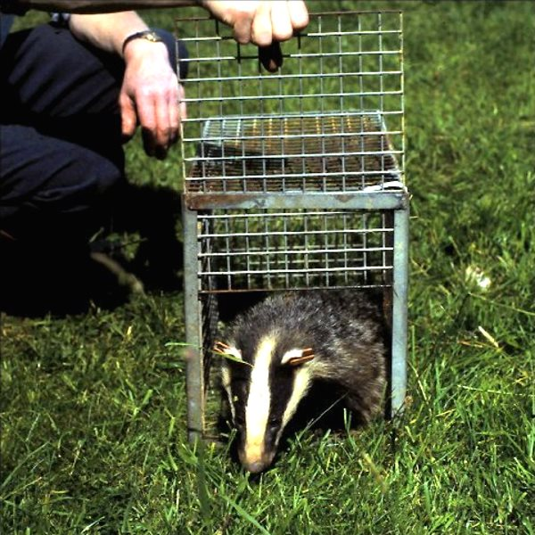 Cover shot of trapped badger used for the new edition of 'The Fate of the Badger' by Richard Meyer, published by Fire-raven Writing.
