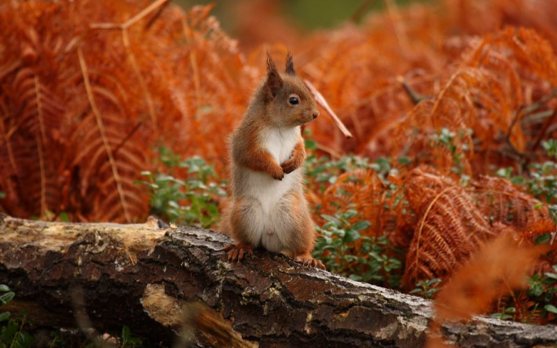 Red squirrel among dead bracken at Kinrara, northern Scotland. Photo: Paul Buxton via Flickr (CC BY-NC-ND).