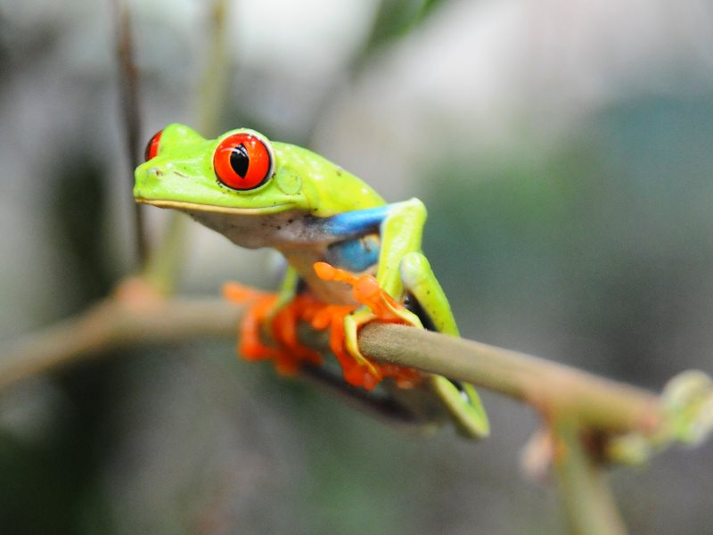 Amphibians are going extinct about 100 times faster than in the past. Rainforest tree frog, Costa Rica. Photo: Casey Atchley via Flickr (CC BY-ND).