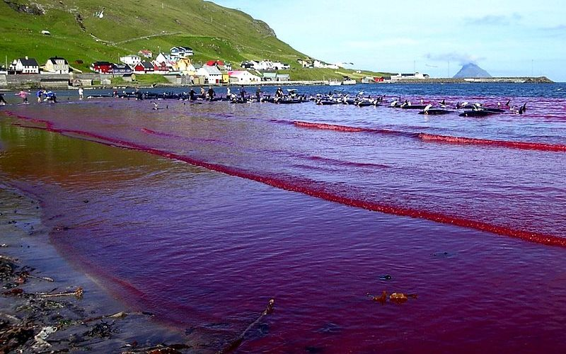Hvalba beach, Faroe Islands, during a Grindadráp. Photo: Erik Christensen via Wikimedia Commons (CC BY-SA).