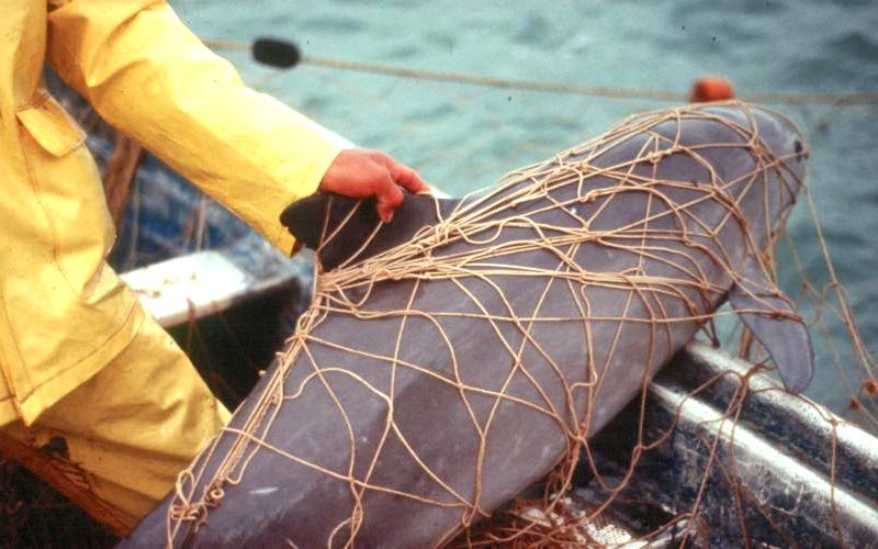 Vaquita caught in a gillnet. Photo: Cristian Faezi & Omar Vidal via IUCN.