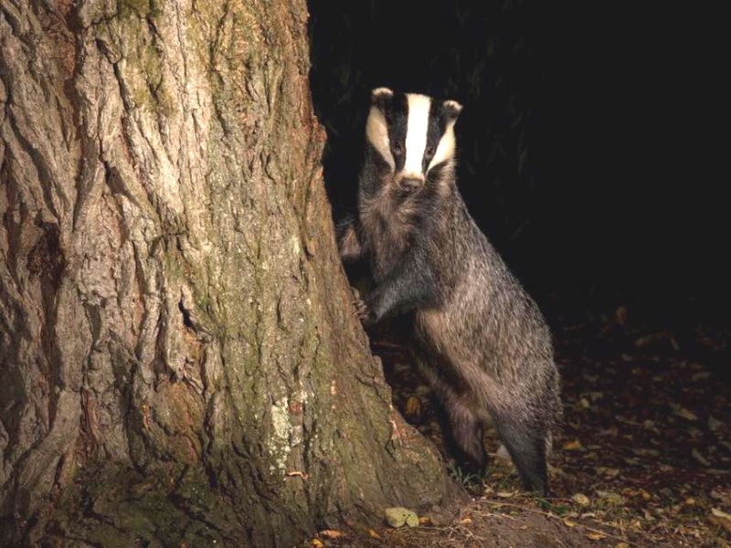 Photo: Somerset Badger Patrol Group via Facebook.