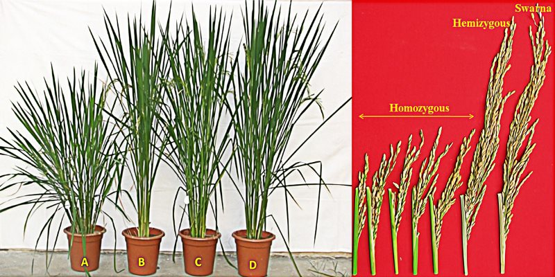 Photographs showing the growth of plants and seed heads of the new golden rice crosses versus the non-GMO cultivar. The GMO golden rice is the abnormal and stunted one on the left. Photo: from PLOS One.