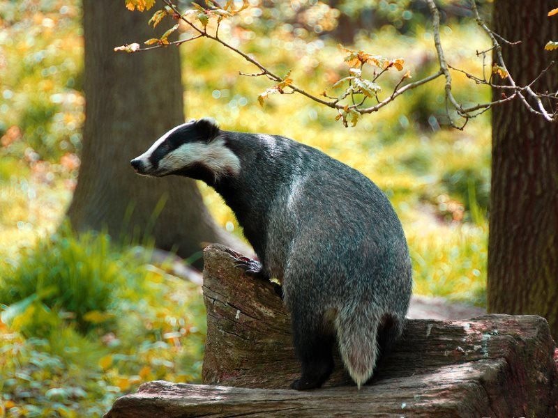 English badger at sunset near Canterbury, Kent. Let's all blame him for farmers' poor biosecurity! Photo: Ian Blacker via Flickr (CC BY-ND).